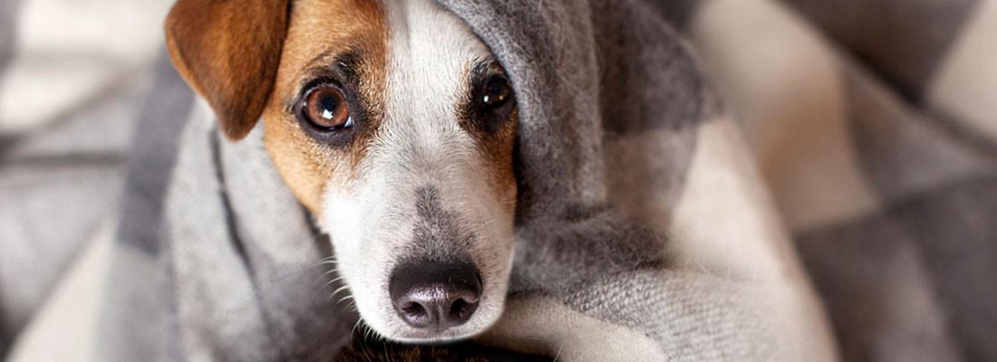 na imagem um cachorro branco com caramelo em baixo da coberta olhando para a câmera